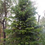 Abies Nordmanianna - gardenshop-constanta.ro 002