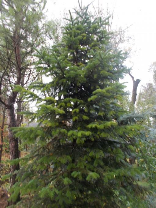 Abies Nordmanianna – gardenshop-constanta.ro 002