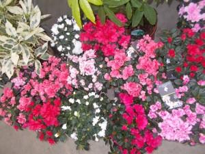 Azalee - gardenshop-constanta.ro 005