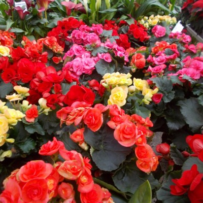 Begonia Elatior - gardenshop-constanta.ro 010