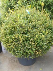 Buxus Sempervirens - gardenshop-constanta.ro 003