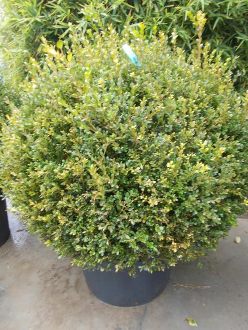 Buxus Sempervirens – gardenshop-constanta.ro 003