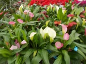 Cala - Zantedeschia Aethiopica - gardenshop-constanta.ro 001