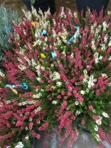 Calluna - gardenshop-constanta.ro 004