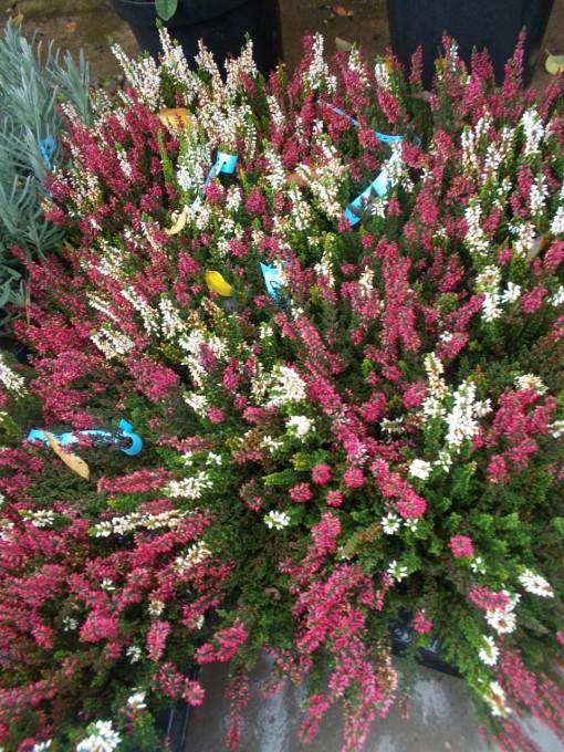 Calluna – gardenshop-constanta.ro 004