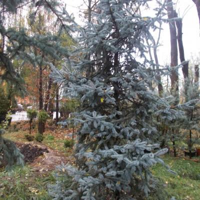 Cedrus Atlantica - gardenshop-constanta.ro 005