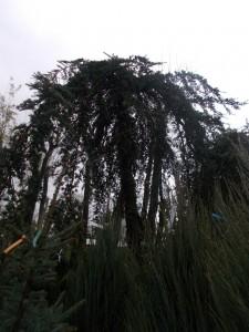 Cedrus Deodara Pendula - gardenshop-constanta.ro 006