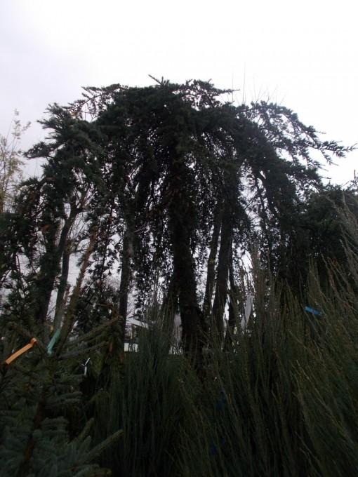 Cedrus Deodara Pendula – gardenshop-constanta.ro 006