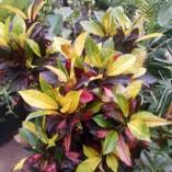 Codiaeum Petra 2 - gardenshop-constanta.ro 003