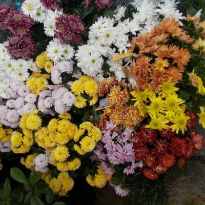 Crizanteme - gardenshop-constanta.ro 007