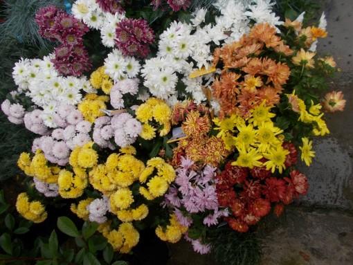 Crizanteme – gardenshop-constanta.ro 007