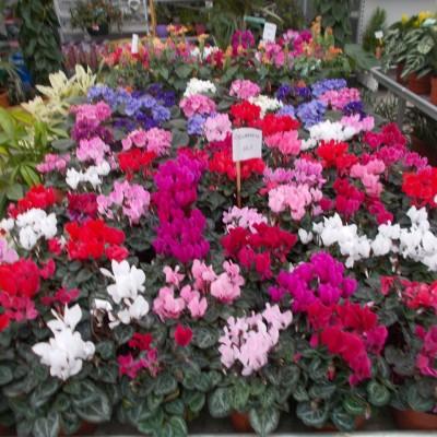 Cyclamen Persicum - gardenshop-constanta.ro 006