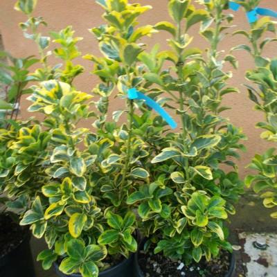 Euonimus Aureomarginatum - gardenshop-constanta.ro 008