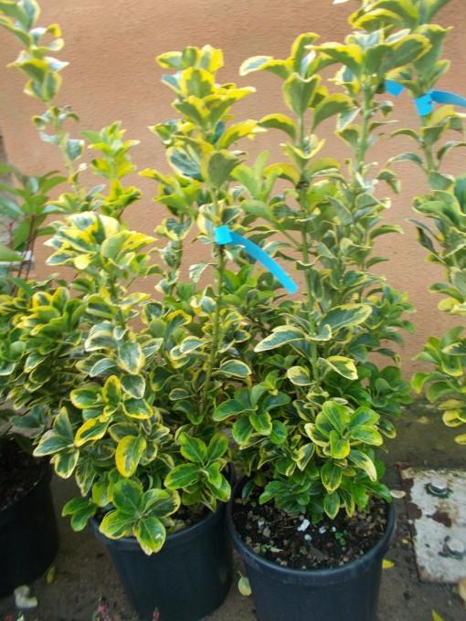 Euonimus Aureomarginatum – gardenshop-constanta.ro 008