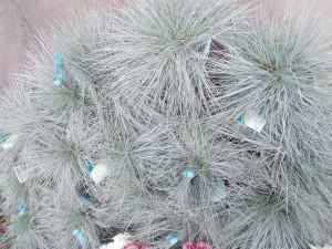 Festuca Glauca - gardenshop-constanta.ro 009