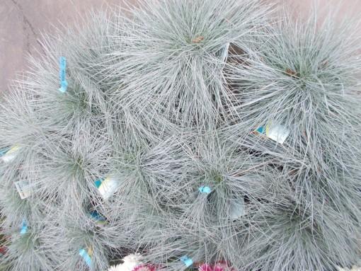Festuca Glauca – gardenshop-constanta.ro 009