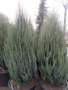 Juniperus Virginiana Skyrocket - gardenshop-constanta.ro 010