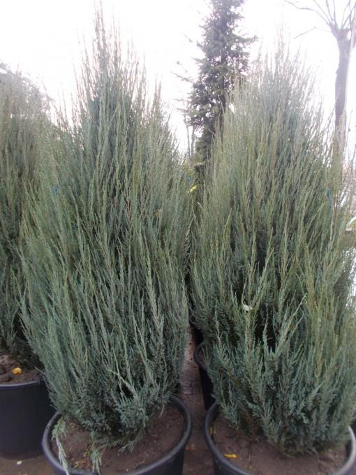 Juniperus Virginiana Skyrocket – gardenshop-constanta.ro 010