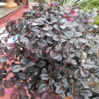 Loropetalum Chinense - gardenshop-constanta.ro 011