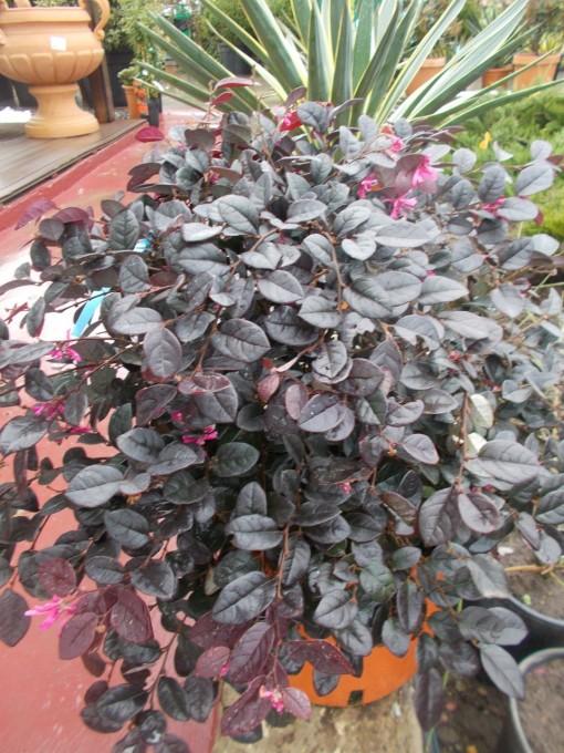 Loropetalum Chinense – gardenshop-constanta.ro 011