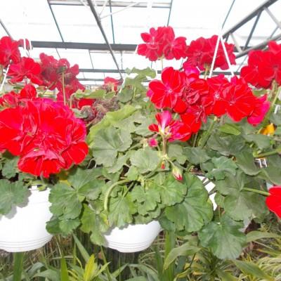 Muscate - Pelatgonium Zonale 2 - gardenshop-constanta.ro 012