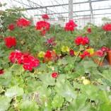 Muscate – Pelatgonium Zonale – gardenshop-constanta.ro 011