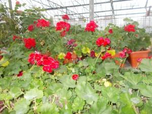 Muscate - Pelatgonium Zonale - gardenshop-constanta.ro 011