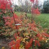 Nandina Domestica - gardenshop-constanta.ro 012