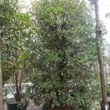 Olea Fragrans - gardenshop-constanta.ro 013