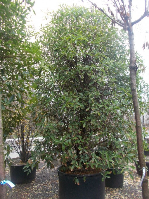 Olea Fragrans – gardenshop-constanta.ro 013