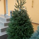 Picea Abies 2 – gardenshop-constanta.ro 014