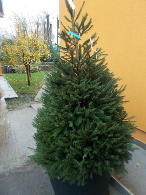 Picea Abies – gardenshop-constanta.ro 015