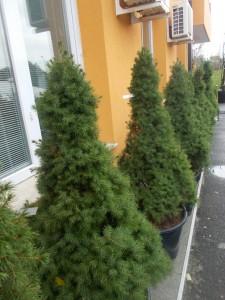 Picea Glauca Conica - gardenshop-constanta.ro 016