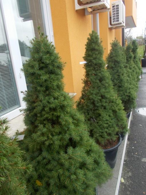 Picea Glauca Conica – gardenshop-constanta.ro 016