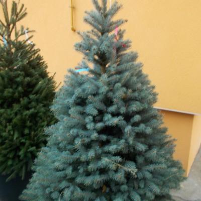 Picea Pungens 2 - gardenshop-constanta.ro 017