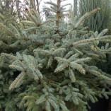 Picea Pungens – gardenshop-constanta.ro 018