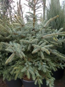 Picea Pungens - gardenshop-constanta.ro 018
