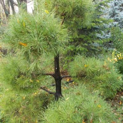 Pinus Pon-pon - gardenshop-constanta.ro 019