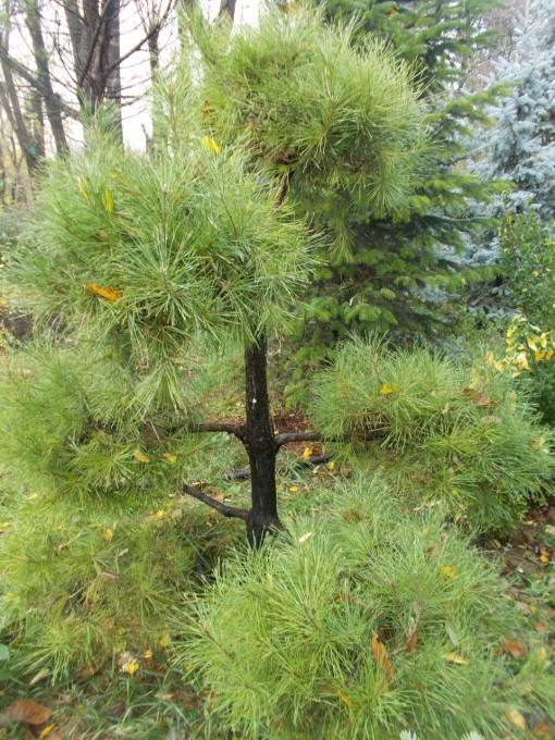 Pinus Pon-pon – gardenshop-constanta.ro 019