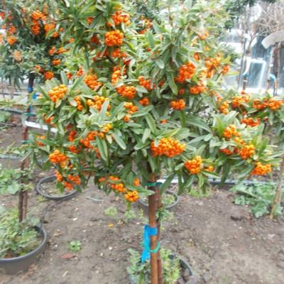 Pyracantha Coccinea Orange - gardenshop-constanta.ro 020
