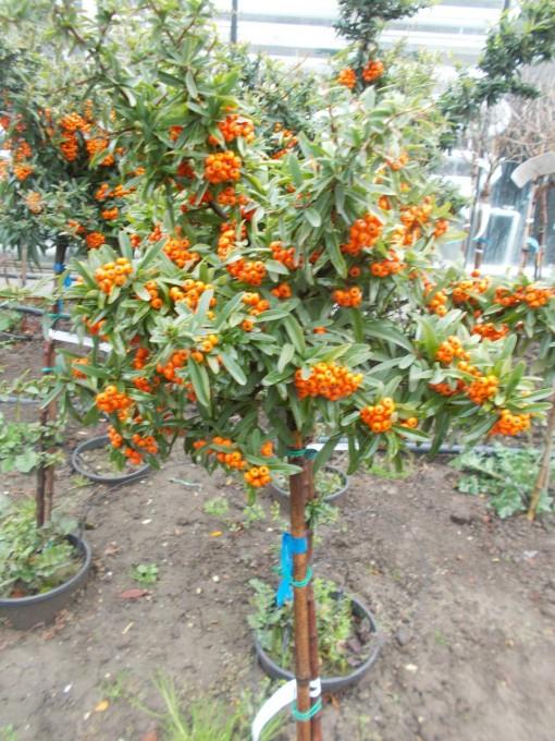 Pyracantha Coccinea Orange – gardenshop-constanta.ro 020