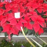 Steaua Craciunului – Poinsettia – gardenshop-constanta.ro 008