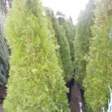 Thuya - gardenshop-constanta.ro 021