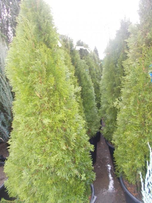 Thuya – gardenshop-constanta.ro 021