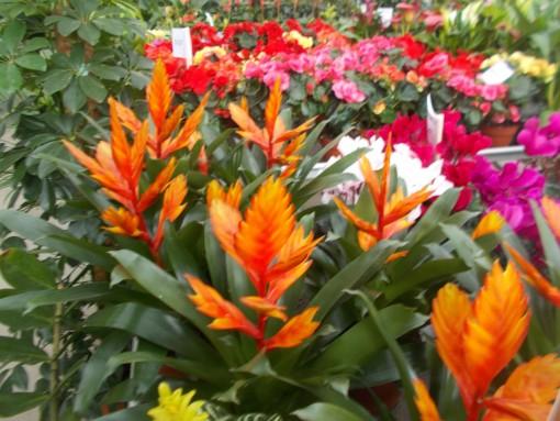 Vriesea Splendens – gardenshop-constanta.ro 009